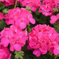 Насіння Пеларгонії зональної Апачі F1 насичено-рожева 1 шт.