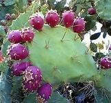 Насіння Червоного кактуса