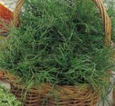 Насіння кропу Амброзія 3г