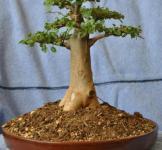 Насіння Баобаба (Adansonia digitata)