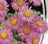 Насіння Ерігерон рожевий 0,2г
