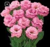 Насіння Еустоми Арена F1 рожева (Takii Seeds Японія)