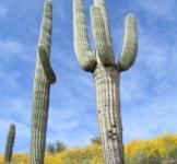 Насіння кактуса Гігантський (Carnegia Gigantea) 6 шт