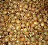 Насіння цибулі ріпчатої севок Кубидо