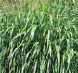 Насіння суданської трави 1 кг