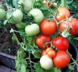 Насіння помідора Катя F1 0,05г (Партнер)