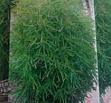 Насіння Кохія Чайлдса вічнозелена 0,5г