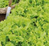 Насіння салата-бебі Кудряшка зелена 1г