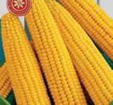 Насіння кукурудзи цукрової Брусниця  0,5кг
