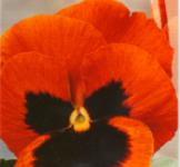 Насіння Фіалка великоквіткова Магія 0,1г