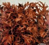 Насіння Мізуна японська червона 0,5г