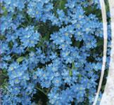 Насіння Незабудка  блакитна 0,1г