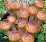 Насіння міцелій грибів Опеньок осінній 10шт