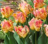 Цибулини тюльпанів Parrot Lady 1шт