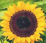 Насіння Соняшника Сонячне коло 10г