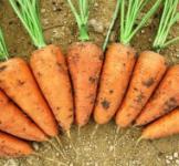 Насіння моркви Шантане Ред Коред 500г