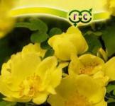 Шипшина жовтий Ксантину ТМ «Гавриш» (0,1 г)