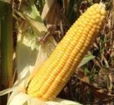 Насіння кукурудзи Веге 1 F1 20 000 шт