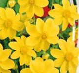 Насіння Жоржини Жовта стрічка (0,3г)