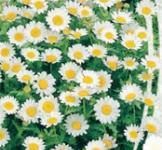 Насіння Хризантеми болотяної (0,3г)