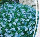 Насіння Лобелії Блакитний килим (0,1г)