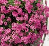 Насіння Вербени ампельної рожевої (0,1г)