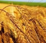 Пшениця на сидерат