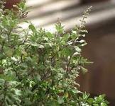 Насіння священного рослини Туласі 5 шт