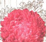 Насіння Айстра півонієподібна Роза Турм 0,25г